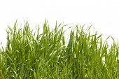 Long grass on white background