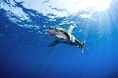 stock photo of great white shark  - oceanic white tip reef shark aka Carcharhinus Longimanus ** Note: Soft Focus at 100%, best at smaller sizes ** Note: Visible grain at 100%, best at smaller sizes - JPG