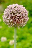 Blooming Garlic