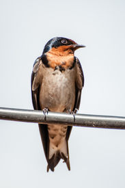 picture of swallow  - A Red - JPG