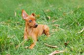 foto of miniature pinscher  - Puppy of Miniature Pinscher and pooch playing on green grass in yard - JPG