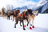 stock photo of sled-dog  - Musher hiding behind sleigh at sled dog race on snow in winter - JPG