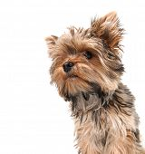picture of yorkshire terrier  -  a cute yorkshire terrier on a white background focus on the nose  - JPG