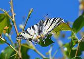 image of butterfly-bush  - Scarce swallowtail butterfly in natural habitat  - JPG