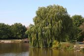 stock photo of weeping willow tree  - beautiful large willow tree on shoreline in morning sun - JPG