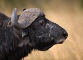 Big Male Cape Buffalo With Grass In It's Mouth