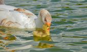 image of mother goose  - Mother goose and baby goose swimming together - JPG