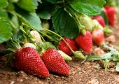 picture of strawberry plant  - Fresh strawberries in blur natural green field background - JPG