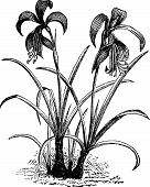 stock photo of belladonna  - Amaryllis formosissima belladonna lily or naked lady flower vintage engraving - JPG