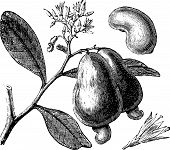 Occidental Cashew Or Anacardium Occidentale Tree, Apple And Nuts Vintage Engraving.