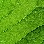 pic of photosynthesis  - Green leaf macro - JPG