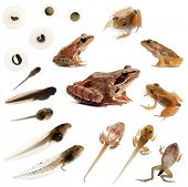 image of tadpole  - Composition of the complete evolution of a Common frog in front of a white background - JPG
