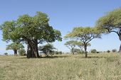 Scenery With Baobab Tree In Africa