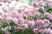 Pink Trumpet Tree Or Tabebuia Rosea; Fresh Pink Flowers And Green Leaves On Branches Of The Pink Tru poster