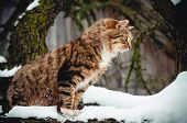 Fluffy Tabby Cat On The Snow-covered Tree poster