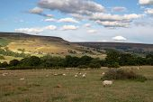 Sheeps Resting And Grazing In English Countryside Farmland. Scenic Countryside Landscape poster
