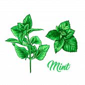 Green Mint Branch Set. Tea Herb Theme. Isolated Hand Painted Realistic Drawing Illustration Of Peppe poster