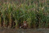 A Cute, Young, Fiery, Red Fox Cub Stands, Lit By The Evening Sun, Against The Background Of Grass. H poster