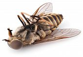 Macro Shot Of Dead Fly Isolated On White Background. Dead Bot Fly Insect Close-up poster