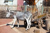 image of burro  - The burro near to the wooden cart - JPG