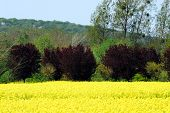 Spring In Picardy France Includes Beautiful Bright Yellow Canola Blossoms Across The Countryside. No poster