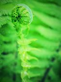 Nephrolepis Exaltata The Sword Fern. Fresh Green Fern Bush In Detail, Looking Into Bush Of Fern In F poster