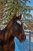 Bay Thoroughbred Horse Closeup In Snow