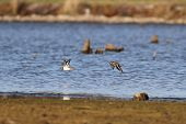 foto of killdeer  - Killdeers in flight over a lake in Missouri - JPG