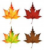 stock photo of canada maple leaf  - vector illustration of autumn leaf - JPG