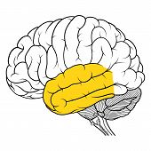 Temporal Lobe Of Human Brain Anatomy Side View Flat poster
