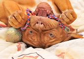 Dogue De Bordeaux puppy lying upside down on a bed with ball toy