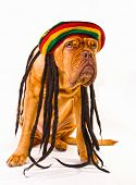 lustige Dogue de Bordeaux in Rastafari hat mit dreadlocks