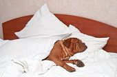 Dog Comfortably Sleeping in bed with white sheets