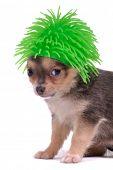 Small Chihuahua Dog with Funny Green Hair