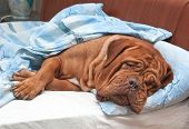Dogue De Bordeaux Dog (French Mastiff) Sleeping Sweetly in Owner's Bed