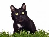 stock photo of catnip  - Black green - JPG