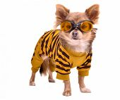 image of chiwawa  - Chihuahua puppy wearing yellow suit and goggles isolated on white background - JPG
