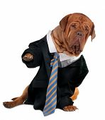 Dogue de bordeaux dressed like a businessman