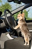 stock photo of chiwawa  - Chihuahua driver dog with paws on steering wheel - JPG