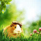 Funny Guinea Pig Or Cavia
