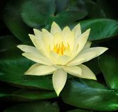 stock photo of water lilies  - a single water lily in bloom with lily pads surrounding - JPG