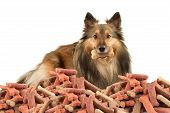 picture of sheltie  - Beautiful furry purebred Shetland Sheepdog also known as a Sheltie on a white background with dog bone treat in his mouth and a big pile in front - JPG