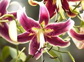 picture of stargazer-lilies  - Pink Oriental Stargazer lily shot in natural light - JPG