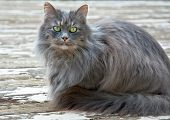 Long Haired Gray Cat