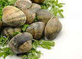 stock photo of cockle shell  - Several clams next to each other with parsley leaves  surrounded by white background - JPG