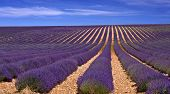 lavander field in Provence,France