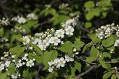 Blossoms or flowers of the common Hawthorne Tree at Central Park