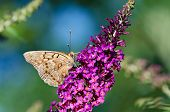 image of butterfly-bush  - Tawny Emperor butterfly  - JPG