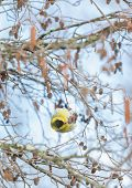 foto of alder-tree  - Detailed view of Carduelis spinus feeding over alder tree - JPG