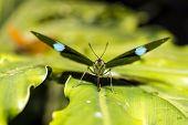 Green Underwing (n. Aglaura) Butterfly